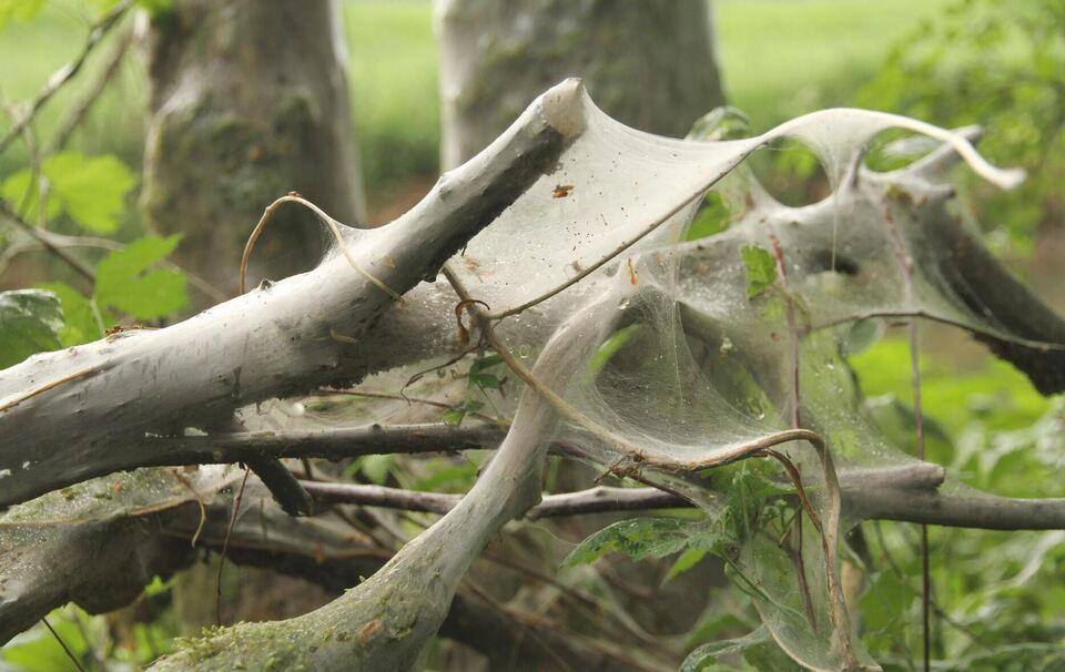 Raupen der gespinstmotten sind f r die pflanzen ungef hrlich - Kahl gartenbau ...