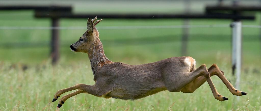 Ruhpoldinger (50) fährt Reh an und lässt schwer verletztes Tier zurück