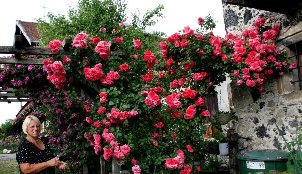 Klettergerüst Rosen : Ein meer von rosen