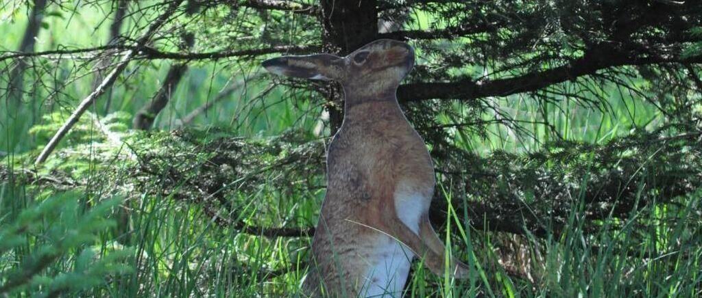 Nach Giraffe imStaudach-Egerndacher Moor: Der Hase ist wieder da